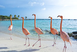 Pink flamingo, Aruba island - 189497149