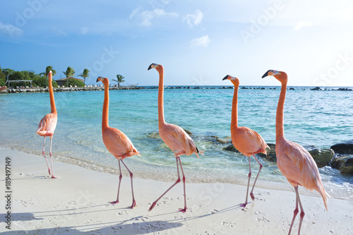 Foto op Canvas Tropical strand Pink flamingo, Aruba island