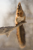 red squirrel on tree trunk with snow