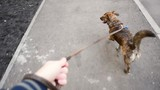 First-person view of the dog walking on a leash in front of the owner - 189510954
