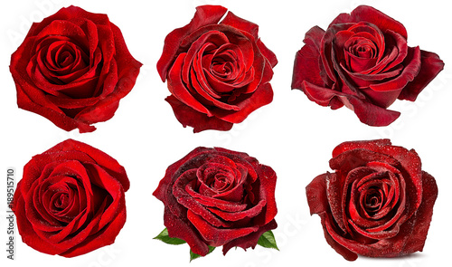 Fresh beautiful red roses isolated on white background with clipping path set