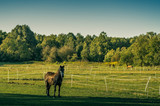 Chestnut stallion horse on the pasture looking at the camera. - 189526948