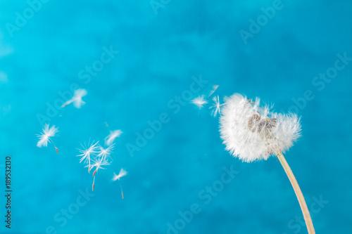 Fotobehang Paardenbloemen White dandelion on blue