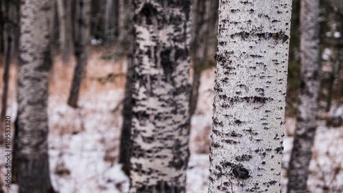 Fotobehang Berkenbos Close up of a Aspen tree trunk
