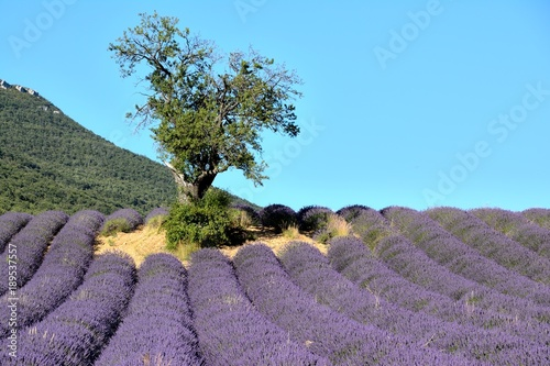 Staande foto Lavendel Blooming lavender fields , with a tree and a mountain in the background. In Drôme Provencale, in France.