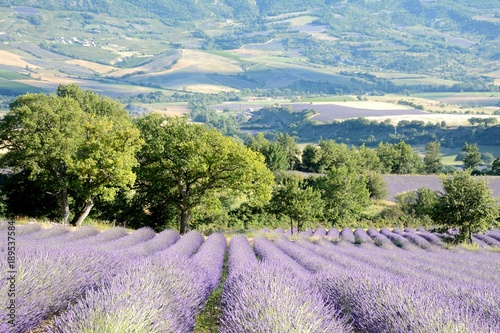 In de dag Purper Blooming lavender fields , with trees en mountain in the background, in Drôme Provencale, in France.