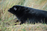 Grey seal puppy at Donna Nook Nature Reserve, UK.