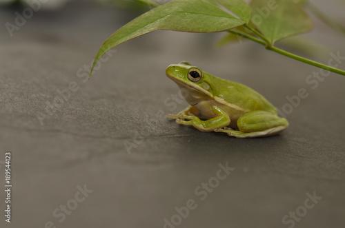 Fotobehang Kikker Small green frog under leaf