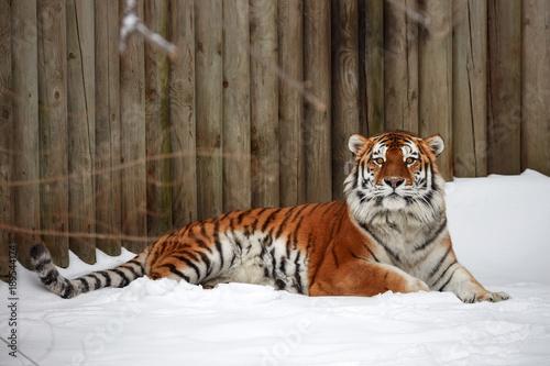 Fotobehang Tijger Tiger on the snow