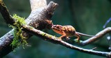 4K natural video of wild Chameleon lizard on branch in forest. Exotic reptile in natural habitat environment - 189559549