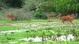 Wild deer graze near forest under rain fall in national park of Sri Lanka - 189559733