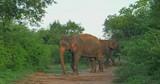 Large asian elephant on path way with family in green bushes of Sri Lanka savannah. Udawalawe national park wildlife - 189560338