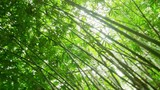 Camera view and bamboo forest canopy rotate and pivot, turn around POV video inside tropical vegetation - 189560500