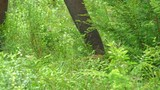 Close up slow motion view of elehant picking green grass from ground using trunk. Sri Lanka wildlife video - 189560531