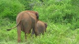 Baby elephant with its mother in green bushy forest of Udawalawe national park walking through high grass toward thicket of green vegetation. Beutiful nature of Sri Lanka - 189560542