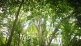 Green foliage of tropical forest canopy. Walking with camera inside woodland. Camera pointed up - 189560707