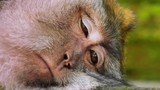 Funny monkey taking a nap and tries to sleep. Close-up view of closing eyes and dozed face of Asian Macaque - 189560977