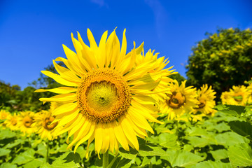 Close up sunflowers with blue sky background