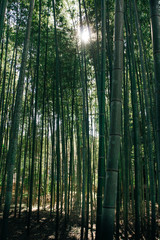 ちくりん,Bamboo forest in japan