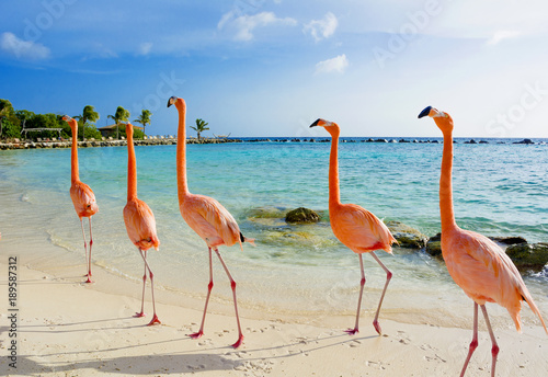 Fotobehang Tropical strand Flamingo on the beach, Aruba island