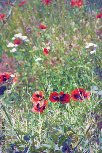 Fotobehang Klaprozen Blooming meadow, wild poppies. Sunny summer. Armenia.