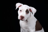 Cute American Pit Bull Terrier puppy on a black background
