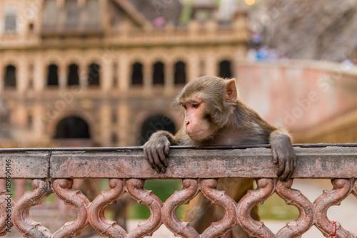 Fotobehang Aap Rhesus macaque at Galta Ji Hanuman Temple in Jaipur, Rajasthan
