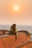 Rhesus macaque on wall high above Jaipur, Rajasthan - 189604301