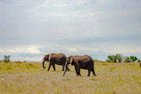 Four elephants moving away in the savannah of Masai Mara Park in northwestern Kenya