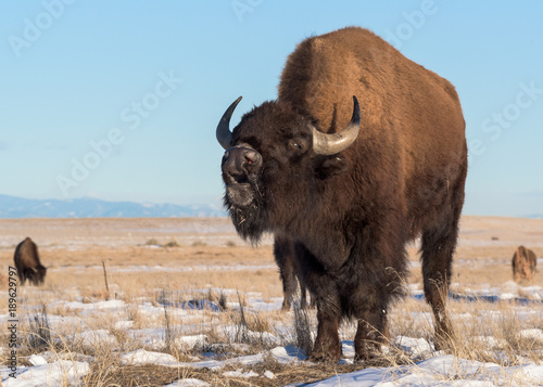 Aluminium Bison American Bison on the Snow Covered High Plains of Colorado