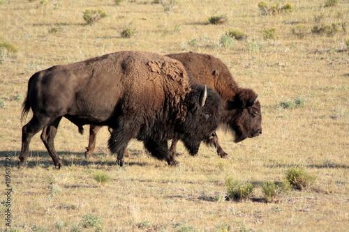Aluminium Bison Buffaloes in the prairie, Custer State Park, South Dakota.