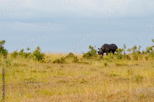 Fotobehang Neushoorn Lonely Rhinoceros grazing in the savannah of Maasai Mara Park in northern Kenya