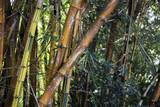 gold bamboo tree in park