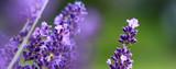 Lavendelblüte im Sommer