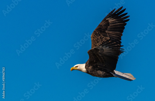 Aluminium Eagle A Majestic Bald Eagle in Flight