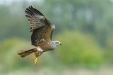 On the fly spring/Black Kite
