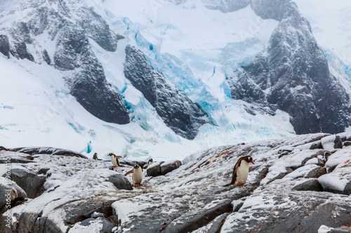 In de dag Antarctica Gentoo penguins walking on the snow with blue glacier in the background, port Charcot, Booth island, Antarctic peninsula