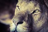 lion eyes 1