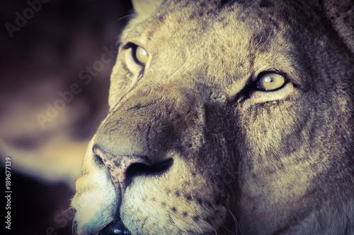 Fotobehang Lion lion eyes 1