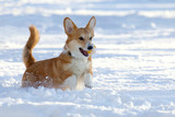 small dog with a yellow ball in the teeth plays in the snow