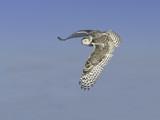 Snowy Owl in Flight on Blue Sky - 189692398