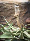 Meerkat standing guard - 189699988