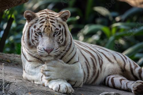 Fotobehang Tijger White Tiger