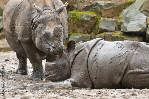 Fotobehang Neushoorn Indian rhinoceros mother with a baby in the beautiful nature looking habitat. One horned rhino. Endangered species. The biggest kind of rhinoceros on the earth.