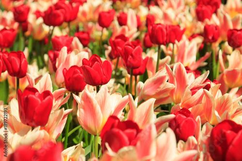 Fotobehang Koraal Blühende Tulpen im Frühling