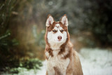 A dog of the Husky breed in a beautiful winter forest
