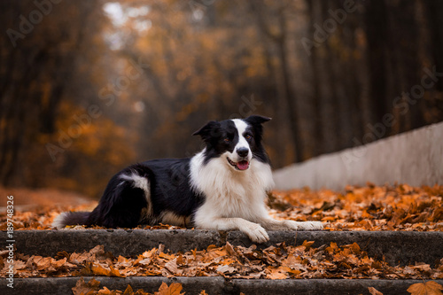 A dog breeds a border collie in a beautiful autumn forest