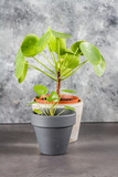 Pilea peperomioides, money plants. Home interior. Gray background.  - 189748547