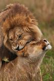 lions feelings