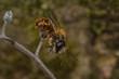 Male Red Mason Bee (Osmia bicornis)
